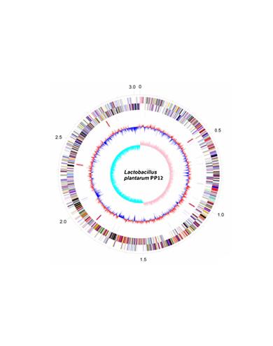 Lactobacillus plantarunm PP12